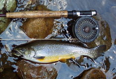 Golden Brook Trout royalty free stock photo