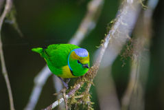 Golden-browed Chlorophonia. The golden-browed chlorophonia (Chlorophonia callophrys) is a species of bird in the Fringillidae family. It is found in Costa Rica Stock Photography
