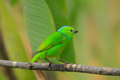 Golden-browed Chlorophonia, Chlorophonia callophrys, exotic tropic green song bird form Costa Rica Stock Photos