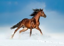 Golden brown andalusian horse runs free in the winter field. The golden brown andalusian horse runs free in the winter field Royalty Free Stock Photos