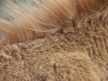 Golden brown animal mane. Macro view of golden brown fur and mane on animal Royalty Free Stock Image