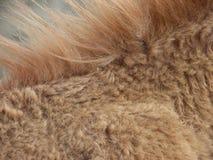 Golden brown animal mane Royalty Free Stock Image