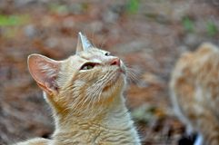 Golden Brown Cat Stock Image