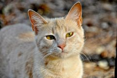 Golden Brown Cat Stock Images