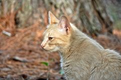 Golden Brown Cat Royalty Free Stock Photos