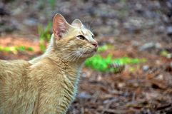 Golden Brown Cat Royalty Free Stock Image