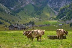 Golden-Brown Cows near watering place on mountain pasture in small village in Swiss Alps. stock image