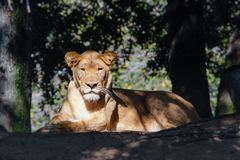 Golden brown female lion resting in sunlight Royalty Free Stock Photography