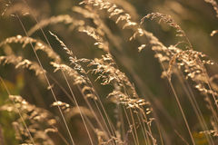 Golden brown grass on the sunset Stock Image