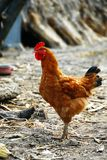 Golden brown hen Stock Image