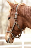 Golden brown horse Royalty Free Stock Photography