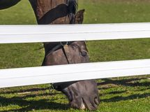 Golden brown horse eating grass below a white fence Royalty Free Stock Photo