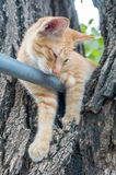 Golden brown kitten on tree Royalty Free Stock Photography