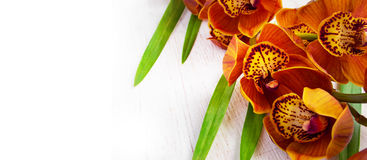 Golden brown orchid on a white vintage background.  Cymbidium Royalty Free Stock Images