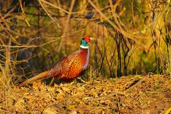 Golden Brown Pheasant stock photography