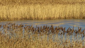 Golden brown reedbeds on a sunny winter day. Stock Photography