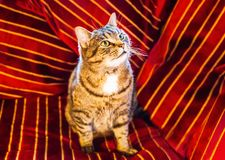Golden brown striped pet tabby cat sitting on a red cushion. Golden brown striped pet tabby cat sitting on and surrounded by a red velvet striped cushion with royalty free stock photo