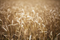 Golden brown wheat field. Narrow depth of field detail of wheat field section. Harvest concept Royalty Free Stock Image