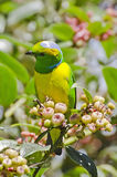 Golden Browned Chlorophonia (male) 1. Golden Browned Chlorophonia (Chlorophonia callophrys) is a species of bird in the Fringillidae family. It is found in Costa Stock Photography