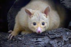 Golden Brushtail Possum, Australia. Golden Brushtail Possum peeking out of a hollow stump of a tree, Australia royalty free stock photos