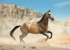 Golden buckskin akhal-teke horse running in desert Royalty Free Stock Photography