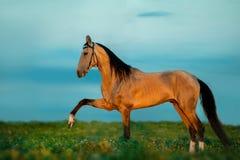 Golden buckskin akhal-teke horse on sunset. The golden buckskin akhal-teke horse on sunset Stock Photography