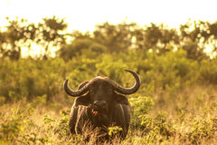 Golden Buffalo. A buffalo at sunset with a golden glow in field royalty free stock photography