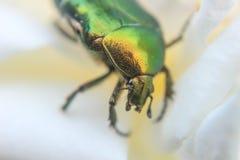 Golden bug on flower leaf Royalty Free Stock Photo