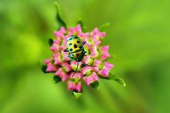 Golden bug and lantana flower buds Stock Image