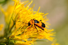 Golden bug working on goldenrod Stock Photos