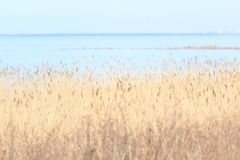 Bulrush on the gulf of Finland. View-2. Stock Image