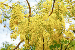 Golden bunches of Cassia fistula Stock Photo