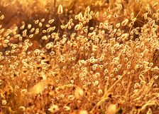 Golden bunny tails at the beach Stock Photo