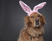 Golden Bunny Royalty Free Stock Photography