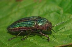 Golden Buprestid beetle Royalty Free Stock Photo
