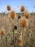 Golden burdock. Autumn burdock in nature. This meadow `beauty` with its hooks loves to cling to everything that is found in its vicinity, and is very much stock image