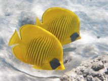 Golden Butterfly. Couple of Golden Butterfly fish, very common in Red Sea coral reef. italian name: farfalla mascherato scientific name: Chaetodon Semilarvatus stock photos
