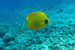 Golden butterfly. At the coral reef Royalty Free Stock Photo