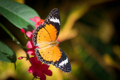 Golden butterfly glory Stock Images