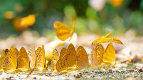 Golden Butterfly on ground. Autumn background with leaves and butterflies. Beautiful on Butterfly with blur background and group of butterflies on surface stock photo