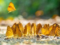 Golden Butterfly on ground. Autumn background with leaves and butterflies. Beautiful on Butterfly with blur background and group of butterflies on surface royalty free stock photography