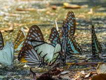 Golden Butterfly on ground. Autumn background with leaves and butterflies. Beautiful on Butterfly with blur background and group of butterflies on surface royalty free stock image