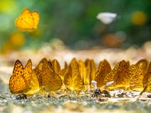 Golden Butterfly on ground. Autumn background with leaves and butterflies. Beautiful on Butterfly with blur background and group of butterflies on surface stock photography