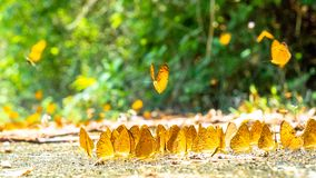 Golden Butterfly on ground. Autumn background with leaves and butterflies. Beautiful on Butterfly with blur background and group of butterflies on surface stock photos