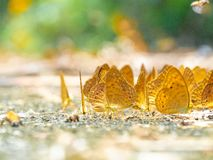 Golden Butterfly on ground. Autumn background with leaves and butterflies. Beautiful on Butterfly with blur background and group of butterflies on surface stock images