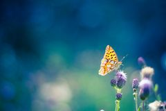 Golden Butterfly on purple flowers. Fntastic bokeh background with a golden butterfly Royalty Free Stock Photo