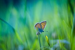 Golden Butterfly on purple flowers. Fntastic bokeh background with a golden butterfly Royalty Free Stock Image