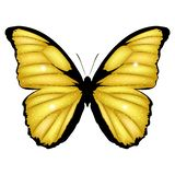 Golden Butterfly. Vector illustration of shining exotic butterfly isolated on white background. Morpho menelaus