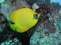Golden Butterflyfish. Taken in the red sea Stock Image