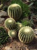 Golden cactus in botanical garden. With variety plants stock photo